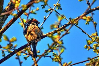 Воробьишка. Фотоохота птицы воробей