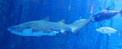 Белая акула ОАЭ город Дубай Океанариум белая акула