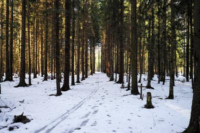 В лесу. лес деревья зима природа