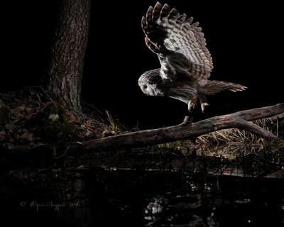 Охота длиннохвостой неясыти неясыть длиннохвостая сова