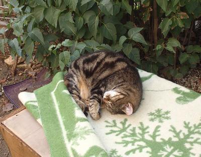 Спящая Тигра красотка!!! Крым Евпатория кошка красотка спящая
