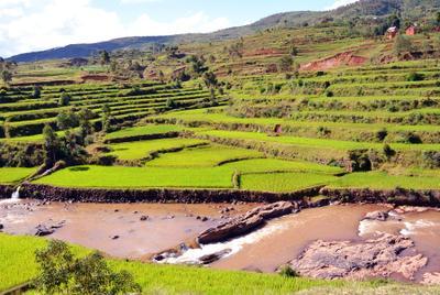 Рисовые поля Мадагаскар