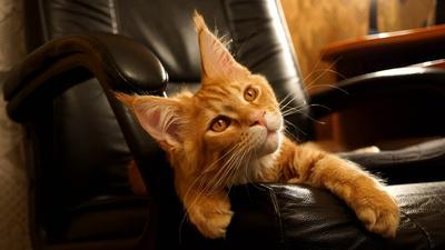 Фоксик Кот.Мейн-кун.Рыжий.Красный мраморный.Кисточки.Лапы.Уши