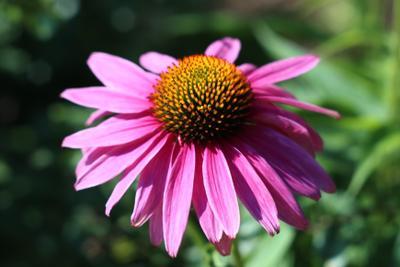 Эхинацея цветок эхинацея крупный план
