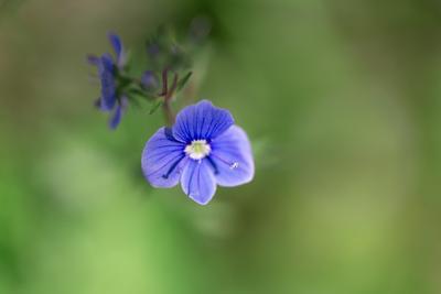 Вероника дубравная полевые цветы природа макро крупным планом голубой цветок вероника дубравная зелёный