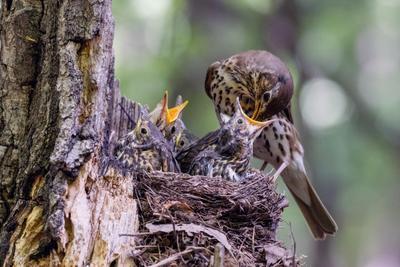 Покажи горлышко дрозд певчий Turdus philomelos птенцы гнездо птицы птица пернатые