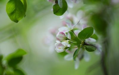 Цвет яблони макро весна цвет май цветы яблоня