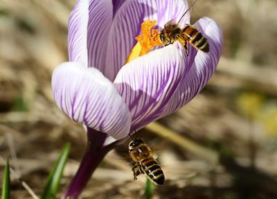 Пчёлки тоже сохраняют дистанцию. . . пчёлы крокус весна