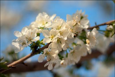 Весенняя весна цветет черешня