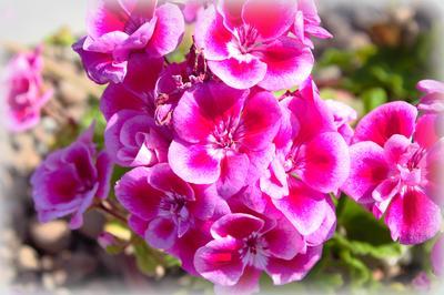 Весеннее настроение Лето герань цветение