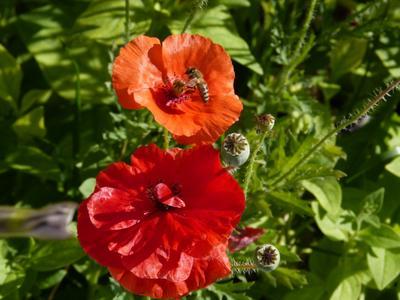 Маки ранней весной мак цветок пчела весна красный