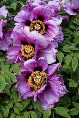 Пион. природа цветы