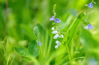Ландыш Ландыш лето свет цветы