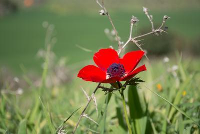 Красный цветок на зеленом фоне цветок природа мак весна