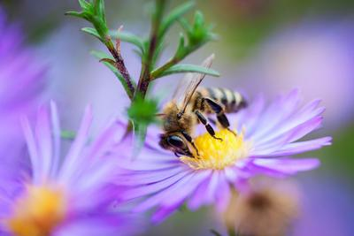 Пчёлка Пчёлка пчела макро цветок