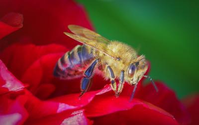 Пчёлка жу-жу-жу на пионе