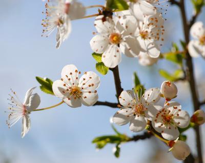 Белоснежная весна белые цветы март весна аромат