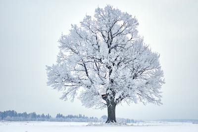 Тихий день дуб иней поле зима дерево
