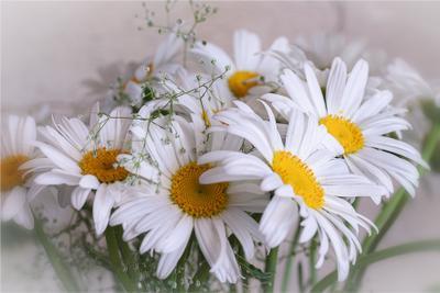 Ромашки к дню фотографа. лето цветы макро