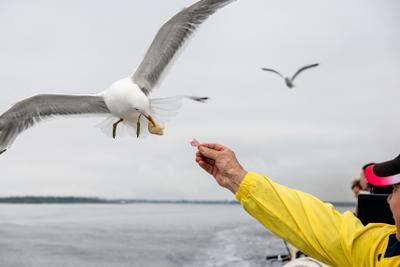 А колбаску? белое море вода чайка попрошайка птица еда хлеб колбаса