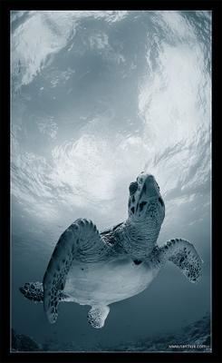 Элегия turtle,черепаха, sky,cloud,surface,aqua,fly
