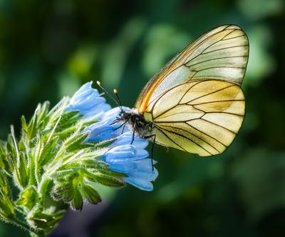 Боярышница бабочка боярышница цветок