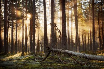 Утреннее солнце в сосновом лесу лес солнце утро туман лучи эстония