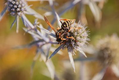 *** оса макро природа цветок опыление солнце прогулка полет животные