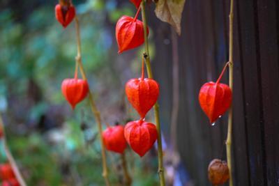 После дождя дождь, осень, цветы
