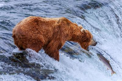 Мишкина рыбалка alaska katamai fotowalk glebtarro bear salmon fishing