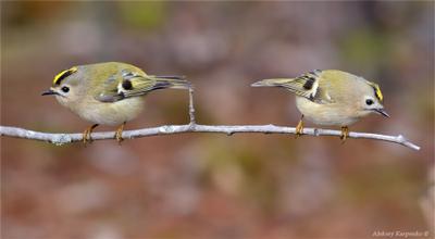 Двое из ларца птица королек желтоголовый фотоохота wildlife