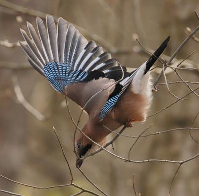 Сойка ломает ветки для гнезда сойка птица