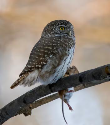 Сыч и его жертва птицы природа зима весна лес охота