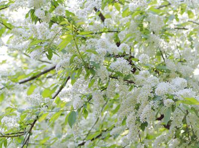 Буйство весны Черемуха цветение