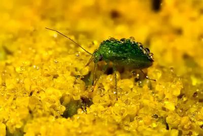 Зелёненький он был... клоп, утро, лето, роса, росист, вода