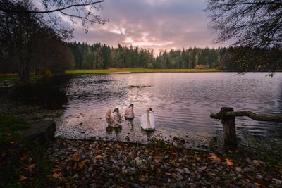 Гуси-лебеди вечер облака закат озеро лес берег птицы лебеди