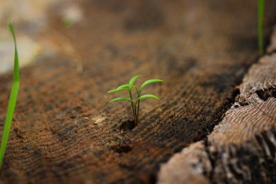 Возрождение пень росток дерево