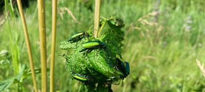 Планета зелёных жуков Зелёные жуки жучки много жуков на цветке листе блестящие