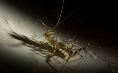 Маленький ночной монстр мухоловка многоножка хищник монстр страх ужас