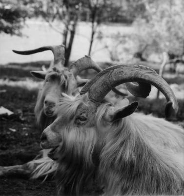 *** козлы, беседа, животные