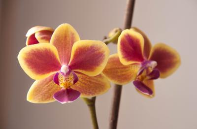 орхидея цветок орхидея
