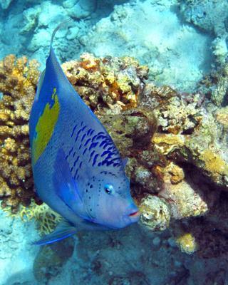 Аравийская рыба-ангел Аравийская, рыба, ангел, Pomacanthus, maculosus, Yellowbar, angelfish