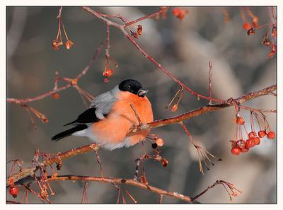Снегирь Снегирь зима птица птичка рябина красный ветки ягоды