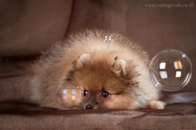 Ёжик в пузыриках шпиц померанский щенок