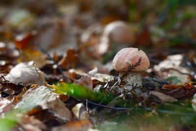 только только гриб подосиновик лес подмосковье