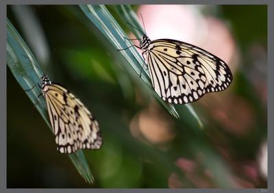 Подружки ... Бабочки, зелень, природа, Малайзия