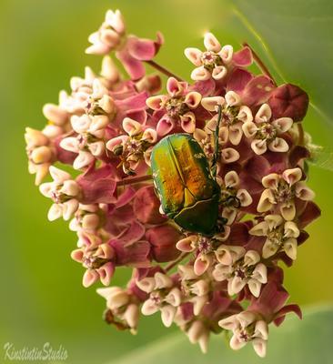 ***Жук и цветок*** жук цветок июль лето