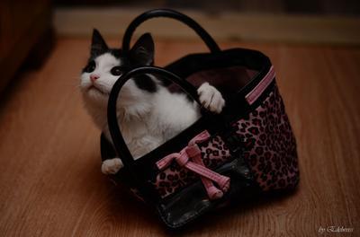 Котик из сумочки. Котик кошечка котёночек сумочка животное пушистик