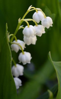 ландыши цветы ландыши белый зеленый