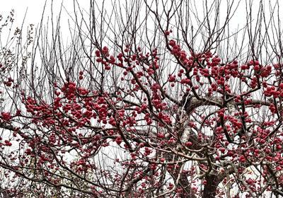 Краски ноября Осень яблони яблоки красные ветви грозди